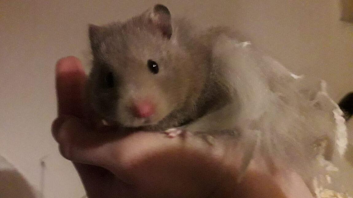 Drei Hamster-Notfellchen